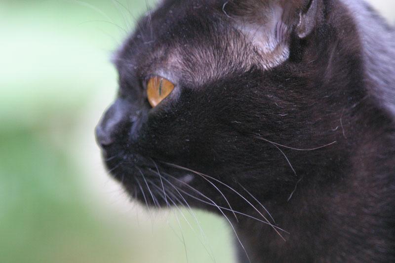 bombay chat sites Bombay, photo de chat bombay sur wamiz, le site des animaux de compagnie.